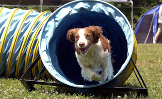Brittany Spaniel exiting tunnel.