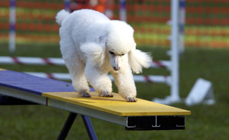 Miniature Poodle on See-saw.